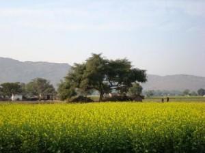 Rajasthani mustard field